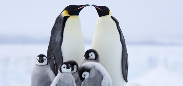 יחי הקיסר: חוגגים את יום הפינגווין הבינלאומי. AdobeStock